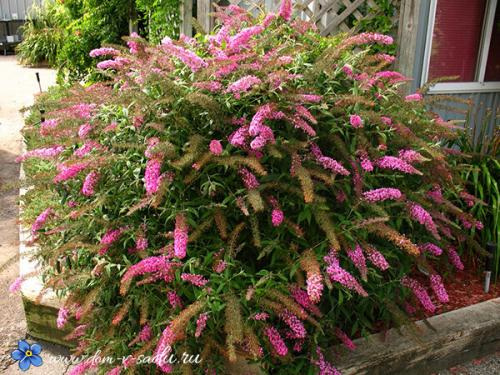 Морозоустойчивые растения. Цветущие красивые кустарники