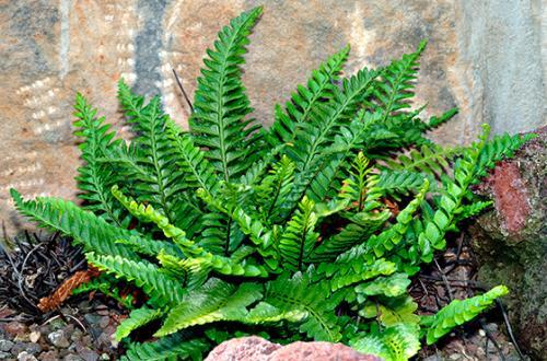 Костенец волосовидный травянистые растения для открытого грунта