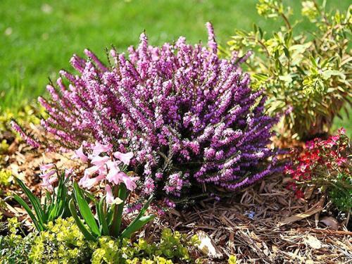 Эрика цветок в открытом грунте