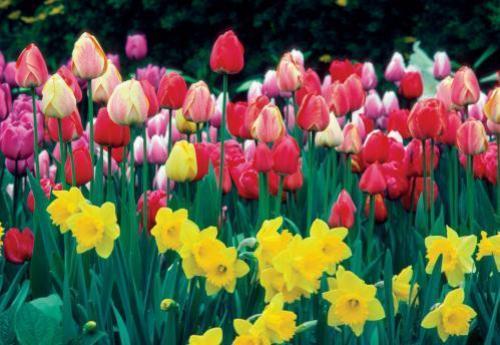 Посадка тюльпанов и нарциссов вместе
