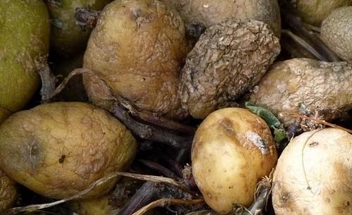 При какой температуре замерзает картошка. Замерзание картофеля при хранении