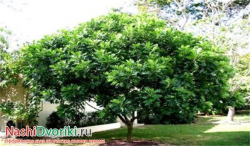 Деревья высотой до 5 метров. Деревья с шаровидной кроной