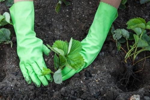 Как сажать клубнику на грядке. Как сажать клубнику осенью?
