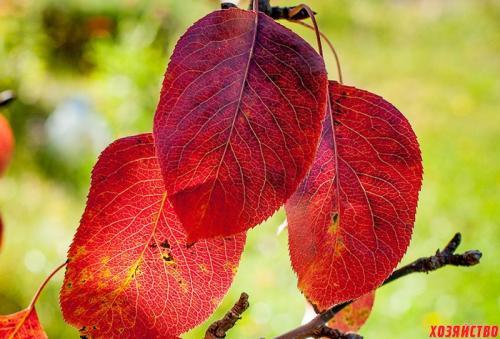 На груше листья краснеют. Пять причин покраснения листьев на груше