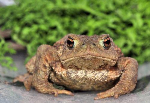 Земляные жабы в огороде вред или польза. Как избавиться от земляной жабы 03