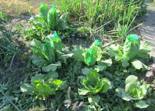 Какие заморозки выдерживает капуста осенью