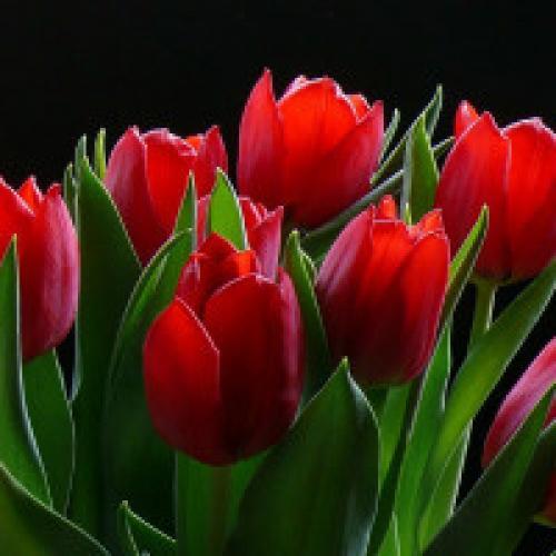 Когда сажать тюльпаны весной. Посадка тюльпанов весной