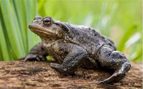 Земляные жабы в огороде вред или польза. Как избавиться от земляной жабы 05