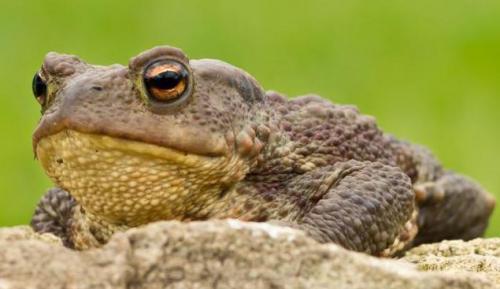 Земляные жабы в огороде вред или польза. Как избавиться от земляной жабы 02