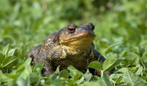 Земляные жабы в огороде вред или польза. Как избавиться от земляной жабы 04