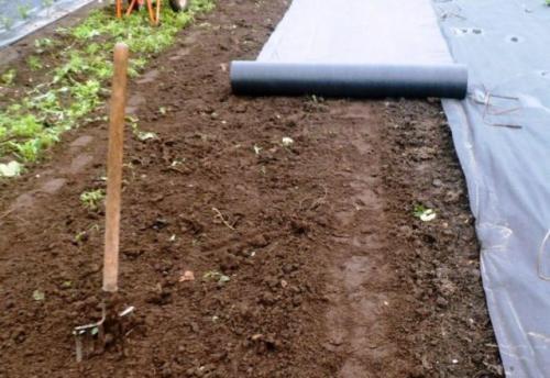 Как правильно сажать клубнику в августе с укрывным материалом. Посадка клубники под укрывной материал