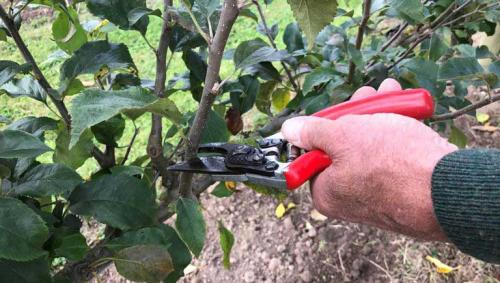 Можно ли вырастить яблоню из черенка. Пошаговая инструкция по черенкованию яблони летом для начинающих