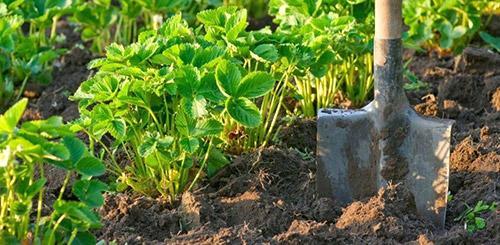 Как правильно удобрить землю под посадку клубники. Где посадить клубнику: выбираем место для грядки