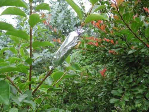 Воздушные отводки размножение яблони.