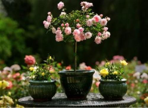 Розы в вазонах. КАК ВЫРАЩИВАТЬ РОЗЫ В ГОРШКАХ