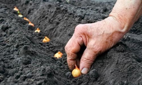 Когда сеять семена лука на севок. Как сажать лук под зиму