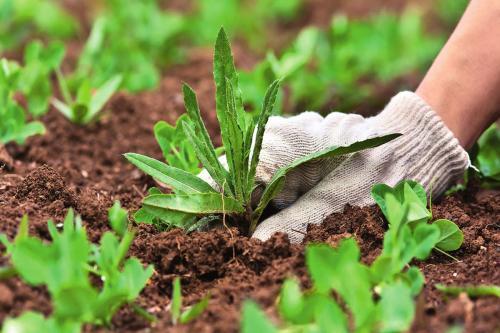 Подготовка почвы под клубнику. Подготавливаем почву для посадки клубники.