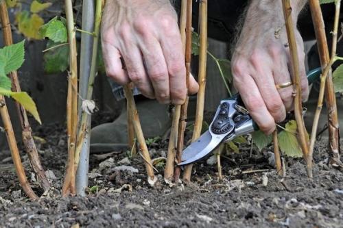 Обрезка ремонтантной малины осенью для начинающих в картинках пошагово. Как правильно обрезать малину осенью?