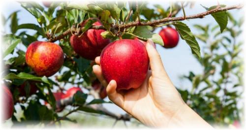 Чем обработать яблоки для хранения на зиму. Выбор плодов