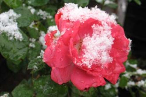 При, какой температуре замерзают розы. Когда и при, какой температуре надо прикрывать растения?