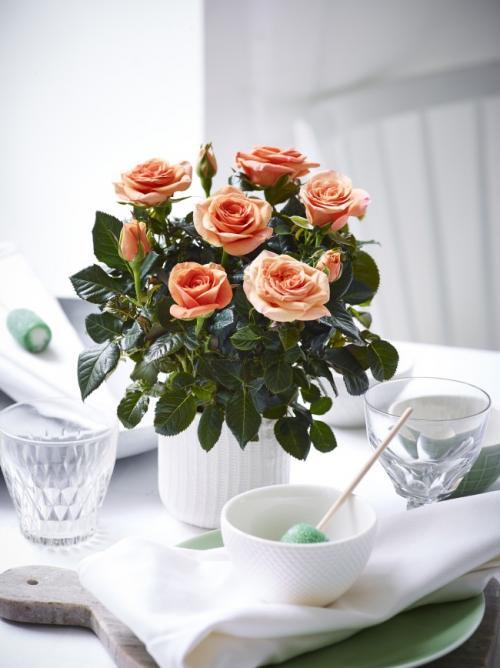 Как вырастить уличную розу в горшке. Как вырастить розу из срезанного цветка в картошке