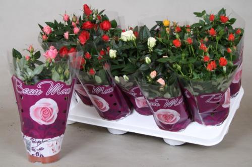 Как правильно посадить домашнюю розу в горшок
