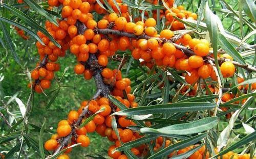 Облепиха из семян выращивание. Свойства и особенности выращивания облепихи.
