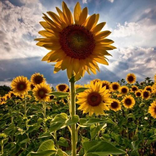 Как поворачивается подсолнух за солнцем. Почему подсолнухи поворачиваются к солнцу?