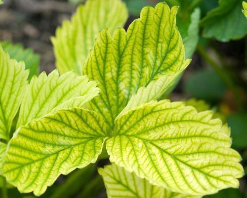 Листья клубники желтые с зелеными прожилками. Почему у клубники желтеют листья