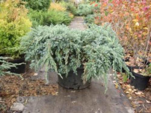 Как правильно укрывать можжевельник на зиму и чем лучше всего утеплить растение. Хвойные: как подготовить к зиме и уберечь от превратностей погоды