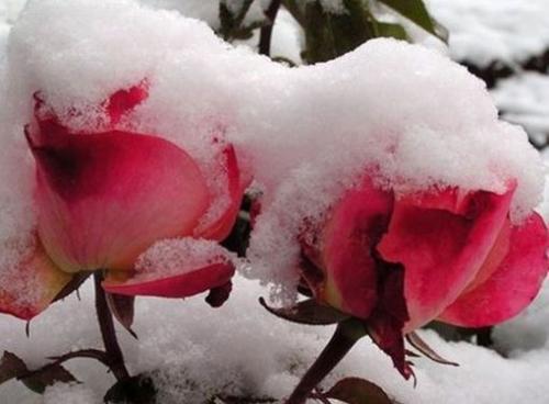 Какую минусовую температуру выдерживают розы. Сколько градусов мороза выдерживают незакрытые розы