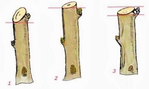 Обрезка на почку. Формирование плодового дерева с помощью обрезки