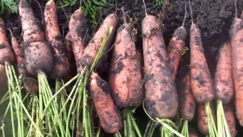 Уборка моркови сроки. Подготовка к уборке и сроки