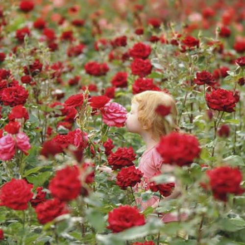 При какой температуре укрывать розы. УКРЫТИЕ РОЗ НА ЗИМУ 01