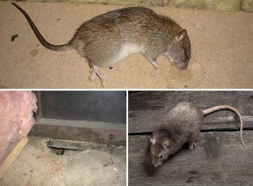 Как бороться с мышами и крысами. Как навсегда избавиться от крыс в частном доме народными средствами