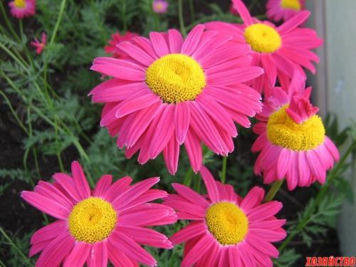 Ромашка пиретрум от вредителей. Розовый пиретрум очарует красотой и избавит от вредителей