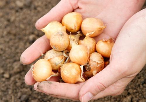 Когда сеять севок лук. Когда сажать лук севок в открытый грунт