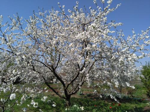 На какой год плодоносит черешня. На какой год после посадки плодоносит