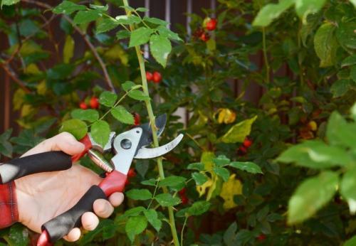 Когда обрезать шиповник осенью или весной. Когда обрезать шиповник