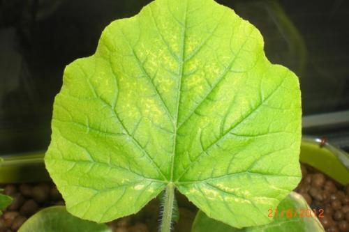 Листья огурцов бледно зеленые причина. Почему бледнеют огуречные листья