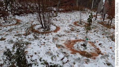 Как укрыть деревья от грызунов на зиму. Магические круги, волшебные бутылочки и хитрые трубочки, или Обезопасим наш сад от грызунов
