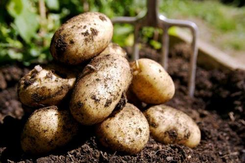 Ранние сорта картофеля. 30 ТОП ранних сортов картофеля с описанием, вкусовыми качествами, фото и отзывами