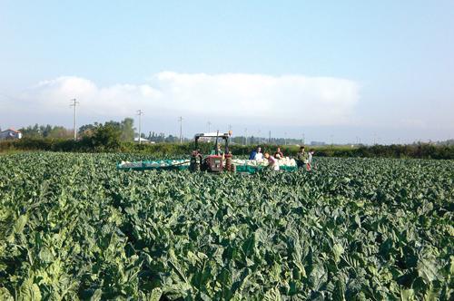 Как вырастить цветную капусту в украине. Что нужно знать