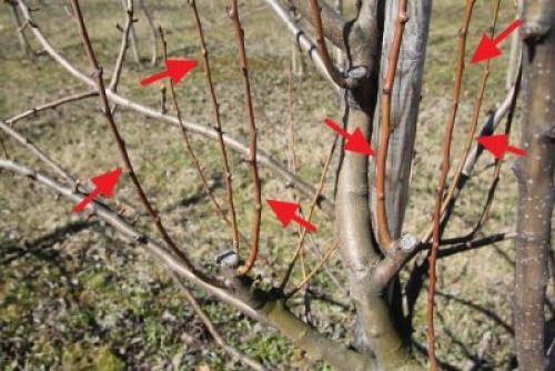 Лечение парши яблонь осенью. Чем лечить яблони от парши летом