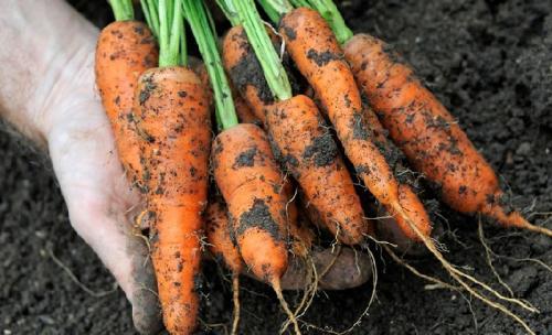 Устойчивая морковь к морковной мухе. Топ-5 сортов моркови, устойчивых к морковной мухе и хранению