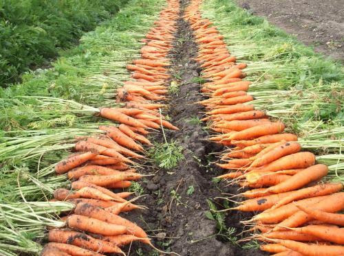 Как определить когда убирать морковь. Как определить зрелость моркови по признакам?