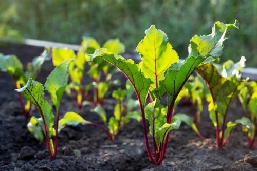 Чем поливать свеклу для хорошего урожая. Как правильно поливать свеклу в открытом грунте?