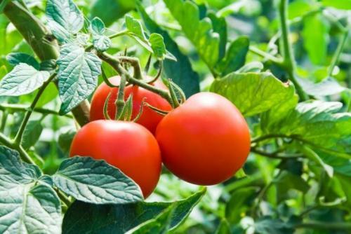 С каких томатов можно брать семена.  Выбираем, с каких томатов будем собирать семена