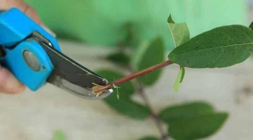 Укоренение черенков жимолости в воде. Размножаем жимолость черенками — самый простой способ!