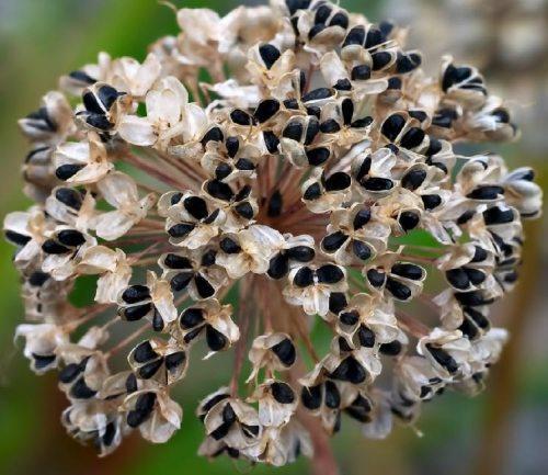 Технология выращивания лука из семян. Здравствуйте, дорогие читатели!